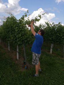 Lavorazione nel vigneto, uva per ottenere aceto balsamico