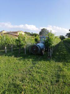 Lavori agricoli nel vigneto Acetaia Valeri