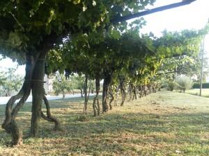 L'Aceto Balsamico Tradizionale di Modena visto dalla vigna